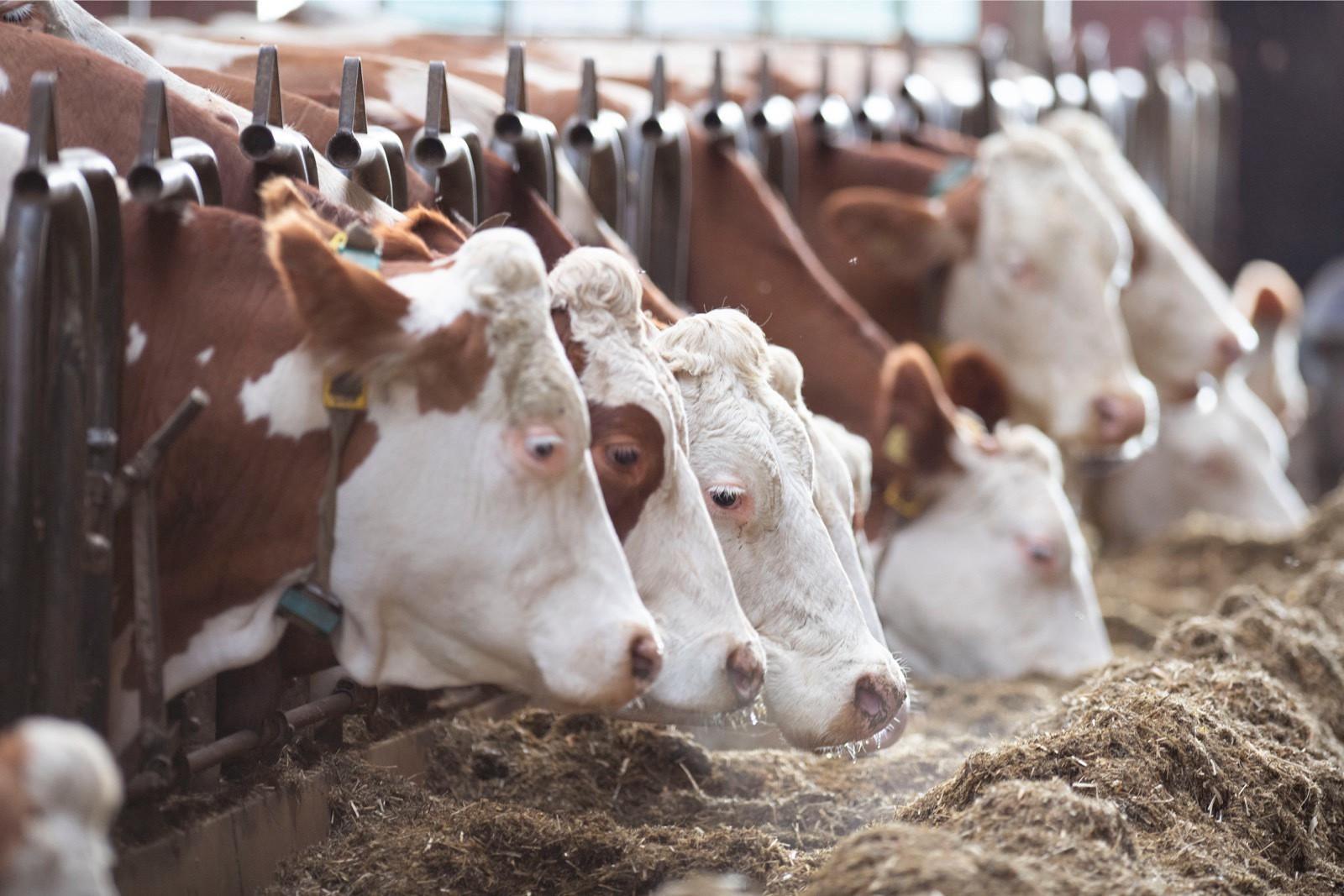 Fleckvieh cows