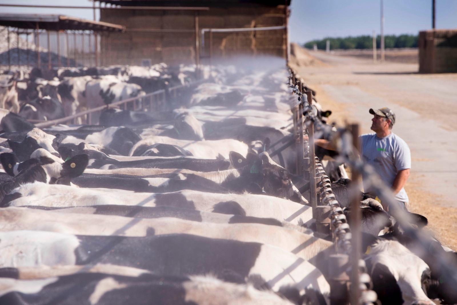 Each year, CRV uses 20 bulls in the US