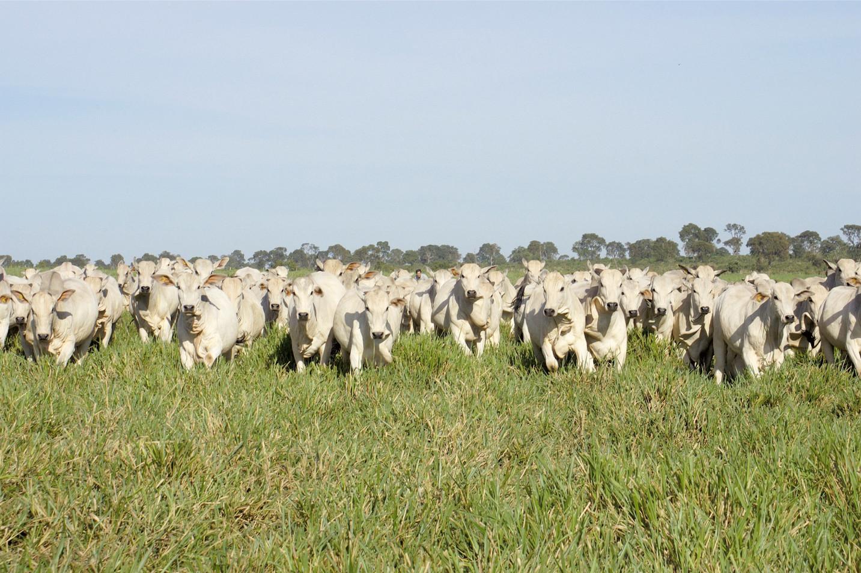 Nelore dairy cows in Brazil