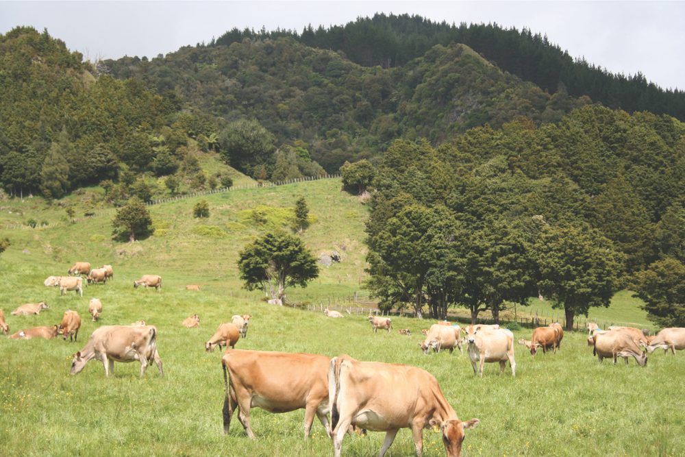 La vaca de pastoreo ideal