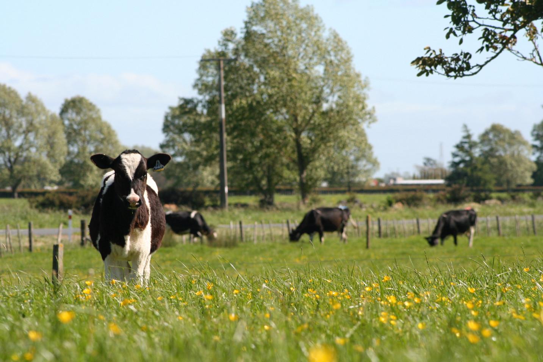 Antecedentes del programa de cría de CRV Holstein en los païses bajos y flandes