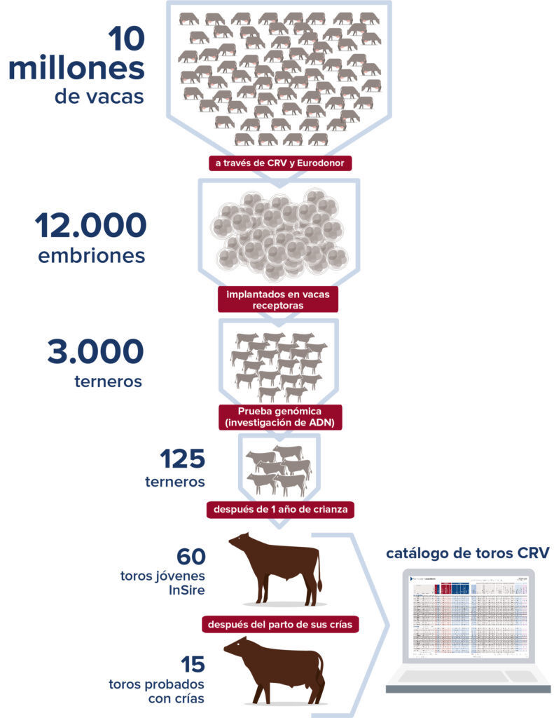 El programa de cría de Holstein de CRV en los Países Bajos y Flandes, se caracteriza por la transparencia, una cifra alta y una selección estricta. La siguiente infografía muestra cómo 60 toros InSire y 15 crías de toros se seleccionan de 10 millones de vacas Holstein europeas y están disponibles para los granjeros de todo el mundo.