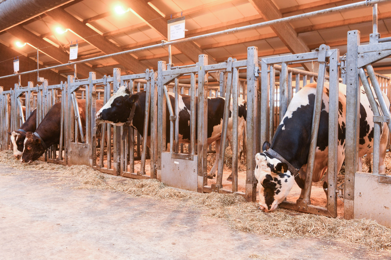 Stal Harfsen is nu vijfsterrenhotel voor CRV-stieren