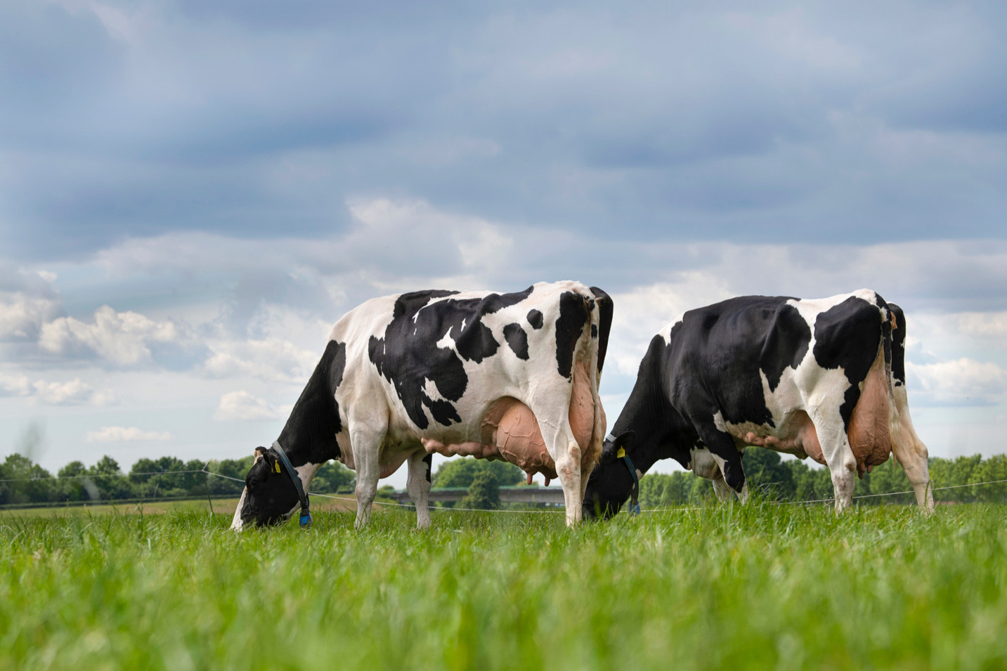 The lifetime production of Dutch dairy cows jumped to record levels in 2019-2020