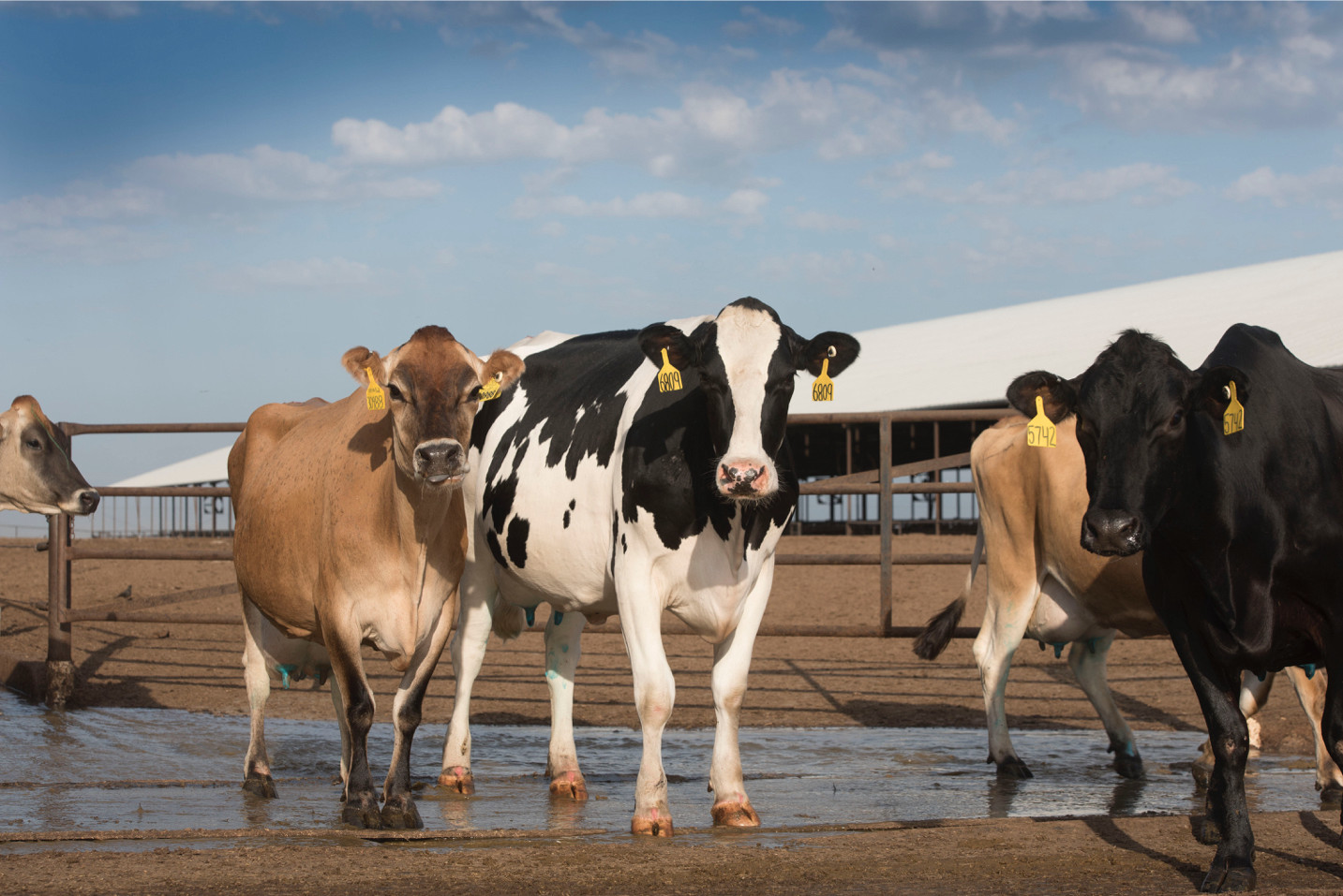 Your ideal semi-mixed-ration cow is bred by a mixture of Holstein/Jersey.